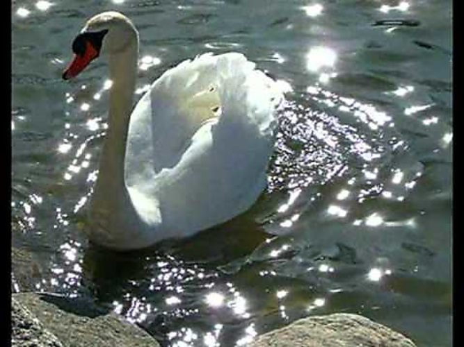 Лебедь белая скачать mp3