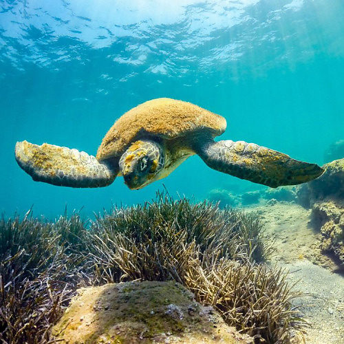 essay about sea turtles Free essay: rising temperatures put sea turtles at risk sea turtles are said to be one of earth's most ancient creatures and the seven species that can be.
