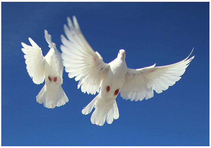 маленьким именинникам голубь картинка при полете элегантные животные
